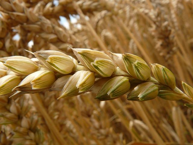 Le farine tratte dai grani antichi sono più salutari rispetto alle farine raffinate